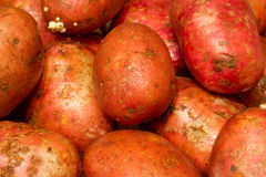 Potatoes on the table. Several of tubers piled slide Stock Photos