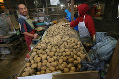 Potatoes. Traders sorting potatoes in the city of Solo, Central Java, Indonesia Royalty Free Stock Images