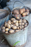 Potatoes in two baskets after harvesting.Fresh uncooked potatoes Royalty Free Stock Photo