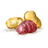 Potatoes vector illustration  hand drawn  painted Royalty Free Stock Photos