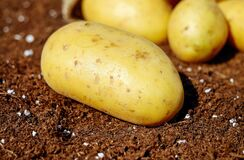 Potatoes, Vegetables, Erdfrucht Royalty Free Stock Images