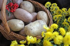 Potatoes and viburnum in a basket. Thanksgiving Day. Harvest. stock photos