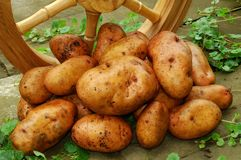 Potatoes with wooden wheels. A handful of large potatoes filled up with wooden wheels standing on the old road surface Stock Photo