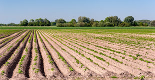 Potatofield in springtime Royalty Free Stock Image