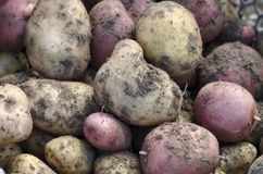 Potatos. Fresh potatos in garden. Close up Stock Photography
