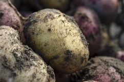 Potatos. Fresh potatos in garden. Close up Royalty Free Stock Image