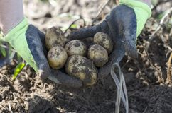 Potatos. Fresh potatos in hands. Close up Royalty Free Stock Image