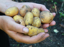 Potatos in hands Stock Images