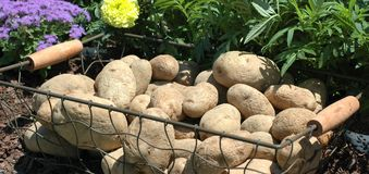 Potatos in Korb 2 Lizenzfreies Stockfoto