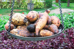 Potatos on old weights. In Thailand garden Stock Image