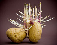 Potatos sprouting roots. Potatos past sell by date sprouting roots stock images