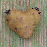 Potatos sprouting roots Royalty Free Stock Images