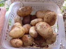 Potatos vegetables. Potatos fresh from earth Stock Photography