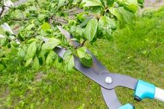 Potatura degli alberi Fotografia Stock Libera da Diritti