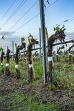 Potatura dell'albero dell'uva Potato e sistemato affinchè crescita raccolgano vista sulla vigna nuda di inverno dopo la potatura immagini stock