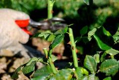 Potatura della primavera di un cespuglio di rose Immagine Stock Libera da Diritti
