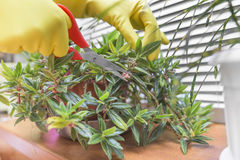 Potatura delle foglie asciutte sulle piante da appartamento Immagine Stock Libera da Diritti