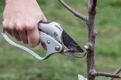 Potatura delle piantine dell'albero dopo la piantatura Immagini Stock Libere da Diritti