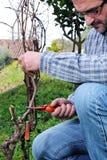 Potatura delle vigne Fotografia Stock