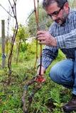 Potatura delle vigne Immagini Stock Libere da Diritti