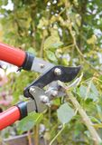 Potatura di Rosa Giardiniere Prune Roses Bush nel giardino fotografie stock