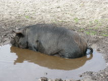 A potbellied pig in the water Royalty Free Stock Photos