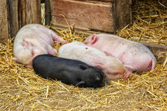 Potbellied Piglets Royalty Free Stock Photo