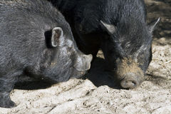 Potbellied pigs Royalty Free Stock Photography