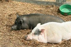 Potbellied Schwarzweiss-Schweine Lizenzfreie Stockbilder