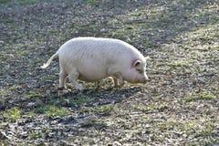 potbelly свиньи Стоковые Фотографии RF