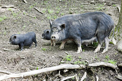 Potbelly Family. A black mama potbelly pig with two of her babies all living in the wild Royalty Free Stock Photos