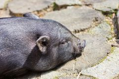 Potbelly Pig Stock Image