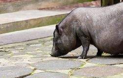 Potbelly Pig Stock Photos