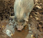 Potbelly Pig With Trash. Potbelly pig drinking from mudhole next to floating plastic trash Stock Images
