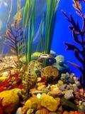 Potbelly seahorse Zdjęcie Stock