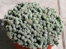 Pote con un mammillaria del cactus gracilis foto de archivo