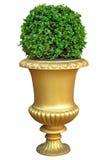Pote de cerámica del oro con el arbusto Fotos de archivo