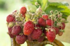 Pote de cerámica viejo por completo de fresas y de arcilla rojas frescas en lona Dieta de las frutas de la comida de Healhty Fotos de archivo