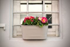 Pote de flores de la prímula con las flores coloridas en la terraza en la primavera Beige metálico de las flores rosadas de la pr imágenes de archivo libres de regalías