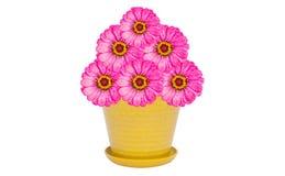 Pote de la flor rosada del zinnia Foto de archivo libre de regalías
