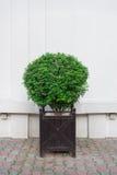 Pote de madera del shrubsin decorativo hermoso Fotografía de archivo