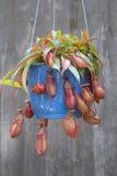Pote hermoso de la planta carnívora de la jarra en Vietnam foto de archivo
