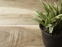 Pote plástico negro de comosum de Chlorophytum en el fondo de madera Foto de archivo