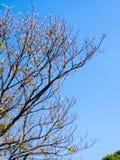 Pote secado de Padauk en árbol de hoja caduca en la estación del otoño con imagen de archivo libre de regalías