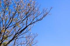 Pote secado de Padauk en árbol de hoja caduca en la estación del otoño con foto de archivo libre de regalías