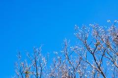 Pote secado de Padauk en árbol de hoja caduca en la estación del otoño con fotos de archivo libres de regalías