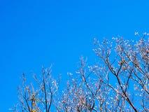 Pote secado de Padauk en árbol de hoja caduca en la estación del otoño con fotos de archivo