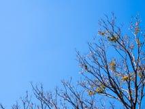 Pote secado de Padauk en árbol de hoja caduca en la estación del otoño con fotografía de archivo libre de regalías