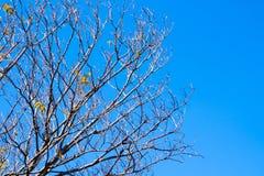 Pote secado de Padauk en árbol de hoja caduca en la estación del otoño con imágenes de archivo libres de regalías