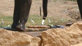 Poten die van olifant zich dicht omhoog bewegen Afrikaanse olifant Graz in nabijheid van reserve stock videobeelden